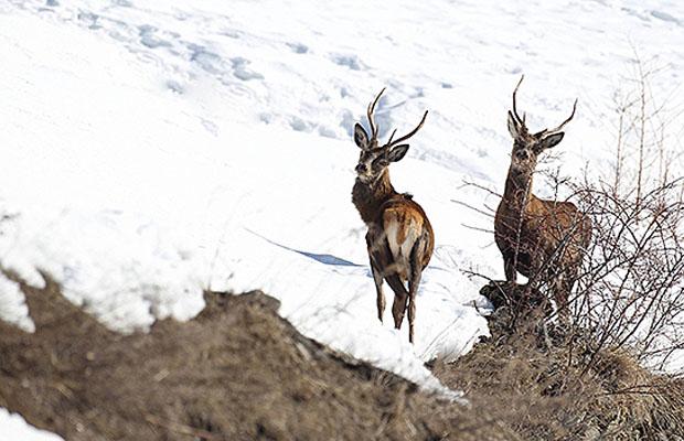Cervi inverno Parco Nazionale dello Stelvio